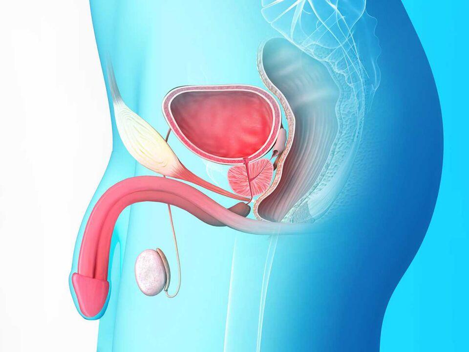 leeches és prostatitis